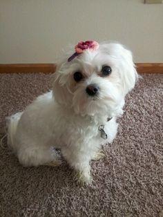 My baby girl, Molly- shitzu-maltese