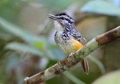 Foto cantador-sinaleiro (Hypocnemis peruviana) por Anselmo d`Affonseca   Wiki Aves - A Enciclopédia das Aves do Brasil