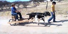 DIY Goat Cart - PetDIYs.com