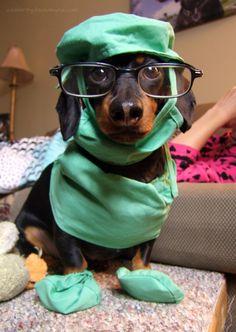 Crusoe: Mum & Dad Get Sick – Crusoe the Celebrity Dachshund Dachshund Costume, Dachshund Funny, Dachshund Puppies, Weenie Dogs, Dachshund Love, Funny Dogs, Cute Puppies, Cute Dogs, Daschund