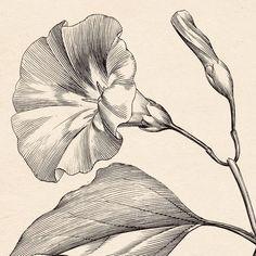 Engraving Illustration, Botanical Illustration, Illustration Art, Cactus Wall Art, Floral Wall Art, Antique Prints, Vintage Prints, Morning Glory Tattoo, Art Sketches