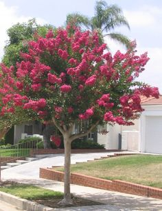 crape myrtle hot pink in bloom