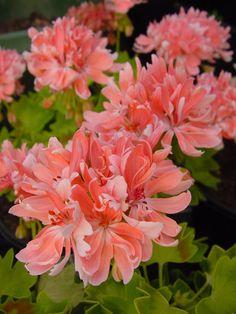 Geranium 'Rushmoor Golden Ruffles' Pelargonium