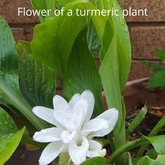 Turmeric Plant, Garden, Flowers, Plants, Garten, Lawn And Garden, Gardens, Plant, Gardening