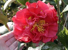 Reg Ragland Supreme Camellia japonica. Cherry red double flowers. Kinsey Family Farm Gainesville, GA.