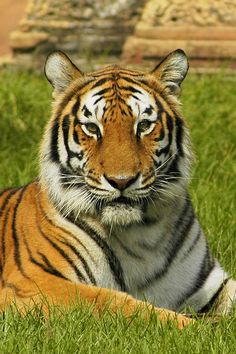 The Bengal tiger ◆Bangladesh - Wikipedia http://en.wikipedia.org/wiki/Bangladesh #Bangladesh