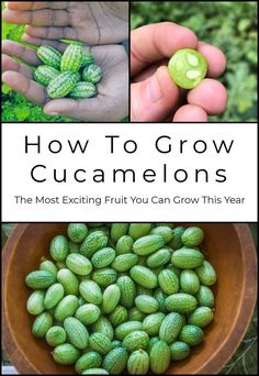 Garden Design Jardines How To Grow Cucamelons - The Most Exciting Fruit You Can Grow This Year.Garden Design Jardines How To Grow Cucamelons - The Most Exciting Fruit You Can Grow This Year Planting Vegetables, Organic Vegetables, Growing Vegetables, Permaculture, Vegetable Garden Design, Vegetable Gardening, Texas Gardening, Organic Gardening Tips, Gardening Hacks