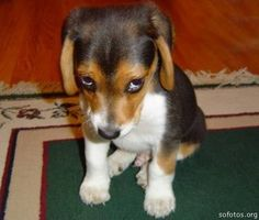 Filhotes de cachorro Beagle
