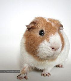 My guinea pig NEMO - by Marie-Sophie Germain  www.mariesophiegermain.com