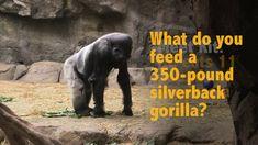 What do you feed a 350-pound gorilla?