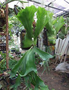 Siam Exotica Plants of Platycerium stemmaria