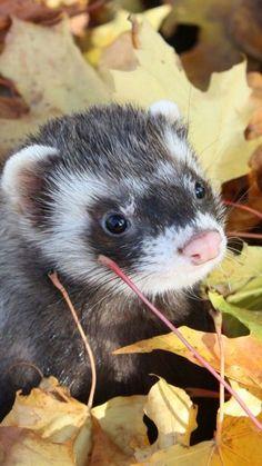 Autumn ferret