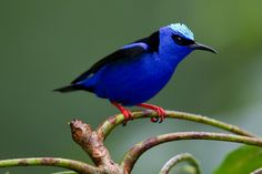 Red-legged honeycreeper, Cyanerpes cyaneus, perched on a limb.