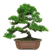 "The Green Mound Juniper Bonsai Tree from Nursery Tree Wholesalers is by far the most popular bonsai in the United States. When most people think of a ""bonsai tree"", a picture of this beautiful bonsai"