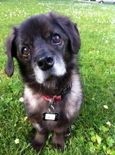 Otter is a sweet, 12 year-old Dachshund mix available for adoption through Muttville.org.