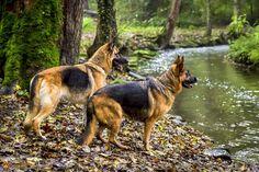 1000 ideas about german shepherds on pinterest gsd