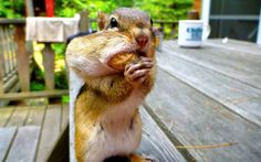 This cheeky chipmunk tried to stuff as many peanuts as possible in his mouth. Photographer Richard Bishop couldn't resist sharing his peanuts with the chipmunk in Ontario, Canada