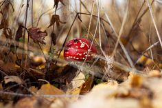 Мухомор красный (Amanita muscaria) фото грибов, лесной гриб мухомор Клубника