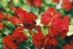 Classic red roses - Photo courtesy of Robin Johnson Photography