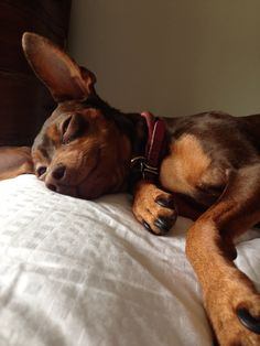 Miniature Pinscher >>> Check out this information about pet dogs.