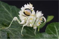 Indonesian flower mantis