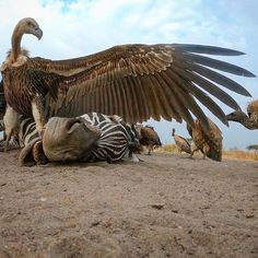 Vulture with a Zebra Fast Nature Deals. Wildlife Photography, Animal Photography, Photography Flowers, Bird Pictures, Cool Pictures, Africa Nature, Wild Lion, Wild Creatures, African Animals