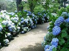 Jardim da Terra: COMO CULTIVAR: Hortênsias