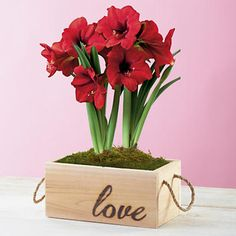 Valentine's Day Amaryllis Plant Gift - Flowers are a Valentine's Day classic. And amaryllises are a year-round favorite. Two pre-planted Red Lion amaryllis bulbs in a handcrafted Western Red Cedar box. This is the perfect gift for that speical someone with a green thumb.