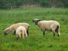 Have a good laugh this weekend! Question: What is a sheep's favorite game? Answer: Baa-dminton!  Picture by 4028mdk09