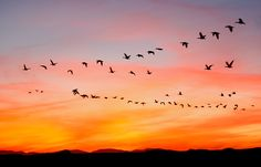 Snow-Geese-heading-home-at-colorful-sunset-_64J0862---Bosque-Del-Apache-NWR,-San-Antonio,-NM.jpg (800×514)