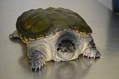 Turtle - Snapping Tortoises, Reptiles, Animals, Turtle, Turtles, Tortoise, Animaux, Animal, Animales