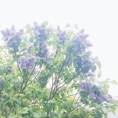 によるInstagramの写真ficklekitten - It's drizzling and I am under the lilac.  小雨降る明るい朝にライラックの木の下で