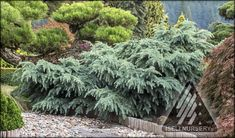Cedrus deodara 'Prostrate Beauty'                                                                                                                                                                                Mature Plant