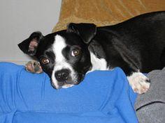 boston terrier jack russell mix | wondering...