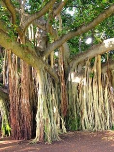 Jungle trees in Hawaii saw plenty of these on the island of Kuai they are stunning