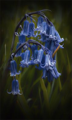 Spring is just around the corner by Ann Bellas flores para una bella mirada Amazing Flowers, Blue Flowers, Wild Flowers, Beautiful Flowers, Beautiful Pictures, Hyacinth Flowers, Simple Flowers, Clematis, Beautiful Gardens
