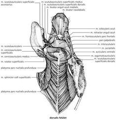 A háziállatok funkcionális anatómiája Digital Textbooks, Latissimus Dorsi, Animal Anatomy, Tech, School, Ideas, Medicine, Animaux, Thoughts
