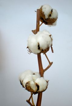 The greatest diversity of wild cotton species is found in Mexico, followed by Australia and Africa.