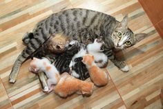 Ah... kittens. Every cat lover can't get enough of their little fuzzy cuteness. But when it comes to raising them, a question we often get is what should you feed kittens? It's best if we can start our cats on the road to a long healthy life at a young age...