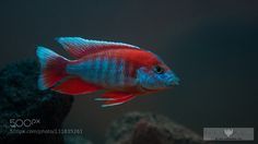 Aulonocara Jacobi Freibergi by ronthedon #Underwater #fadighanemmd
