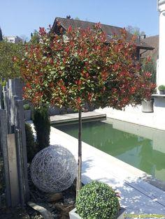 Die 26 Besten Bilder Von Zierbäume Garten Terrasse Gärtnern Und