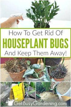 Garden Pest Control Figuring out how to get rid of indoor plant bugs is extremely frustrating, and c Garden Bugs, Garden Pests, Garden Care, Plant Bugs, Plant Pests, Jade Plant Care, Common House Plants, Indoor Plant Pots, Good Indoor Plants