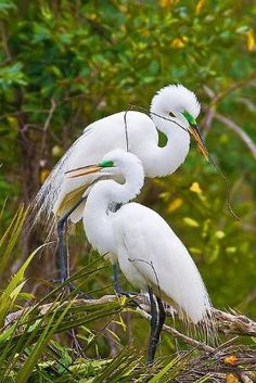 **A mating pair of Great Egrets work on building a nest at Gatorland Park in Orlando, Florida. by Lovely Linda