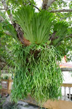 Generally, only a few staghorn fern varieties are available in nurseries or greenhouses because of their very specific temperature and care requirements. Learn about the cold hardiness of a staghorn fern, as well as care tips, in this article. Unusual Plants, Exotic Plants, Cool Plants, Exotic Flowers, Tropical Plants, Air Plants, Indoor Plants, Potted Plants, Staghorn Fern Care