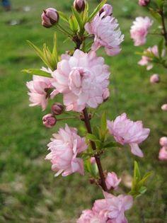 Prunus glandulosa Rosea, Pink Flowering Almond (right hill, left hill)