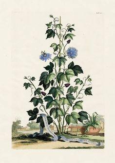 MUNTINGIA CALABURA LIN (1753) Ou CALABURE SOYEUX - merveilleuse Chiang-Maï
