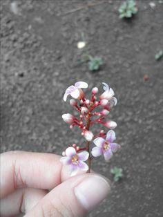 #flower #pinkandwhite #cherryblossom #starfruitflower