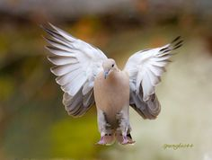 A dove with purple ankles.