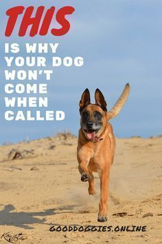 This is Why Your Dog Won't Come When Called. Teach your dog or puppy recall with these easy dog training tips. #easydogtricks
