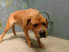 3/18/17-PUREBRED CHINESE SHAR PEI DOG ON DEATH ROW!- 4 YEAR OLD,  DUMPED AND NEGLECTED- AT LOS ANGELES ANIMAL CONTROL,  LANCASTER SHELTER, LANCASTER,  CALIFORNIA-ID #A5036004- GO TO  lacounty.gov
